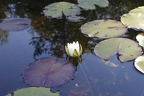 water lily opening.JPG